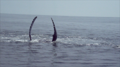 The Wonderful arching flukes of Mother Whale